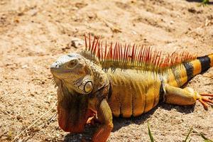Nahaufnahme von Leguan foto
