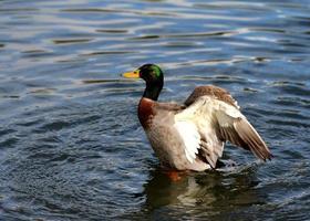 Ente flattert auf Wasser