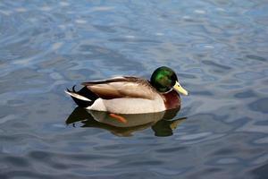 Ente in einem Teich foto