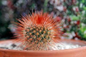 stacheliger roter Kaktus foto