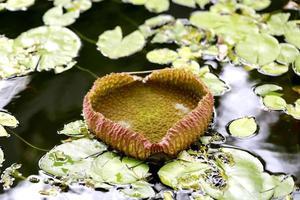 Seerosen am Teich foto