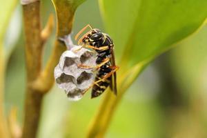 Wespe baut ein Nest foto