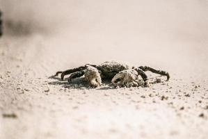 Krabbe auf weißem Sand