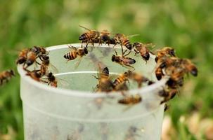 Bild von afrikanischen Honigbienen auf Glas