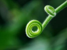 Kriechpflanze