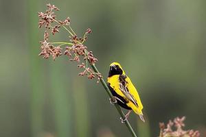 gelb gekrönter Bischof foto
