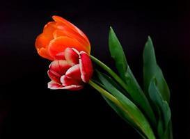 scharlachrote und orangefarbene Tulpen foto
