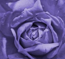 violette Rose mit Wassertropfen