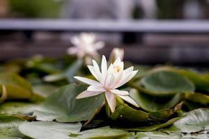 weißer Blumenlotus