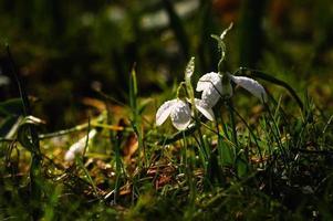 Schneeglöckchenblume in der Blüte
