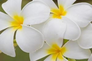 Frangipani, Plumeria, thailändische Blume foto