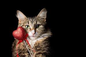 flauschige schöne junge Katze mit Herz auf einem schwarzen Hintergrund