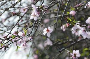 rosa Farbe Kirschblüte
