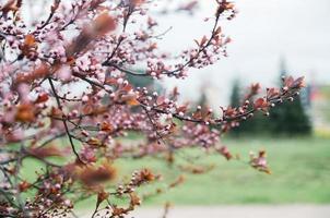 schöne blühende japanische Kirsche - Sakura foto