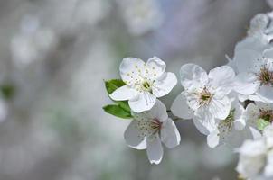 Kirschblüten-Nahaufnahme über natürlichem Hintergrund foto