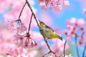 Vogel auf Kirschblüte und Sakura (Weißaugenvogel)