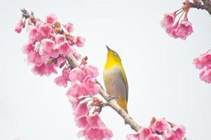 Weißaugenvogel auf Kirschblüte und Sakura