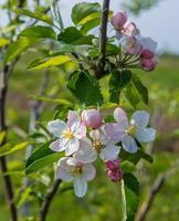 blühender Baumbrunch mit rosa Blüten.