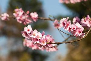Kirschblüte, Sakura-Blüten foto