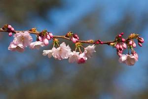 Kirschblüte, Sakura-Blüten