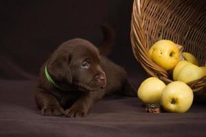 Schokoladen-Labrador-Welpe, der auf einem braunen Hintergrund nahe Korb liegt foto