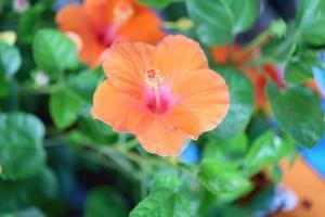 blühende orange Blume des Hibiskus. foto