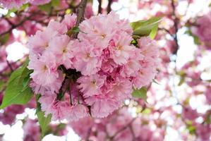 Sakura foto