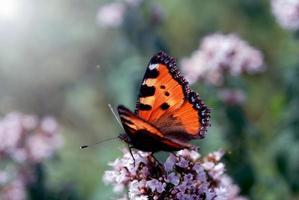 schöner Schmetterling auf einer Blume foto