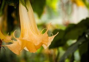 Brugmansia Blume foto