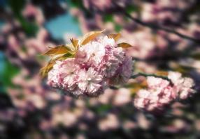 Sakura Kirschblüte foto