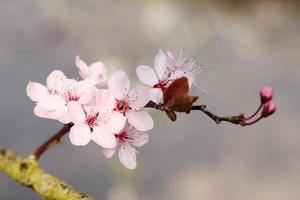 Apfelblüte foto