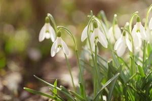 zarte Frühlingsschneeglöckchen am frühen Frühlingsmorgen