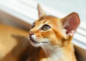 abessinisches Kätzchen foto