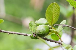 Guave auf einem Baum foto