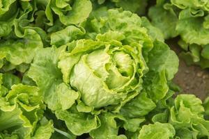 Salatpflanze im Feld foto