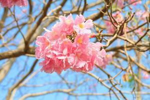 rosa Trompetenblumen oder Tabebuia Pallida foto