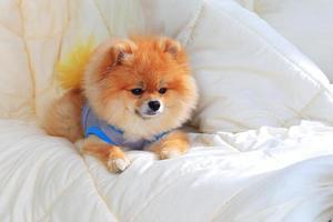 Der pommersche Pflegehund trägt Kleidung auf dem Bett foto