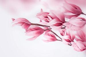 schöne Magnolie. foto