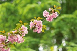 rosa Kirschblüten gegen grüne Blätter
