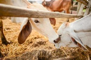 verliebte Kühe. foto