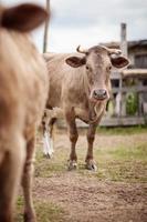 Porträt des schönen Kuhbullen, der in die Kamera schaut