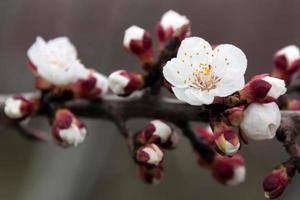 blühende weiße Blüten eines Baumes foto