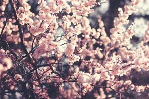 Frühlingskirschblüten, rosa Blüten. foto
