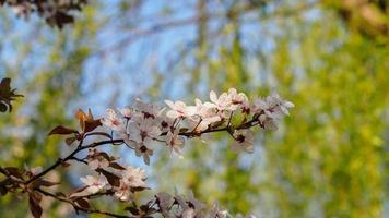 Frühlingsblumenserie, schöne Kirschblüte, weiße Sakura-Blume foto