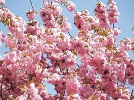 Zweige der Sakura foto