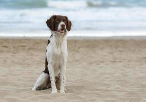 männlicher bretonischer Hund am Strand foto