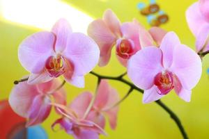 rosa Orchidee blüht