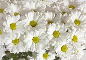 Fotohintergrund von weißen Gänseblümchen foto