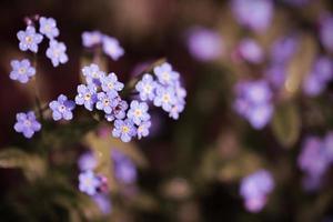 vergiss mich nicht Blumen mit Farbfilter Hintergrund gemacht