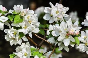 weiße zarte Blüten von Apfelbäumen Nahaufnahme